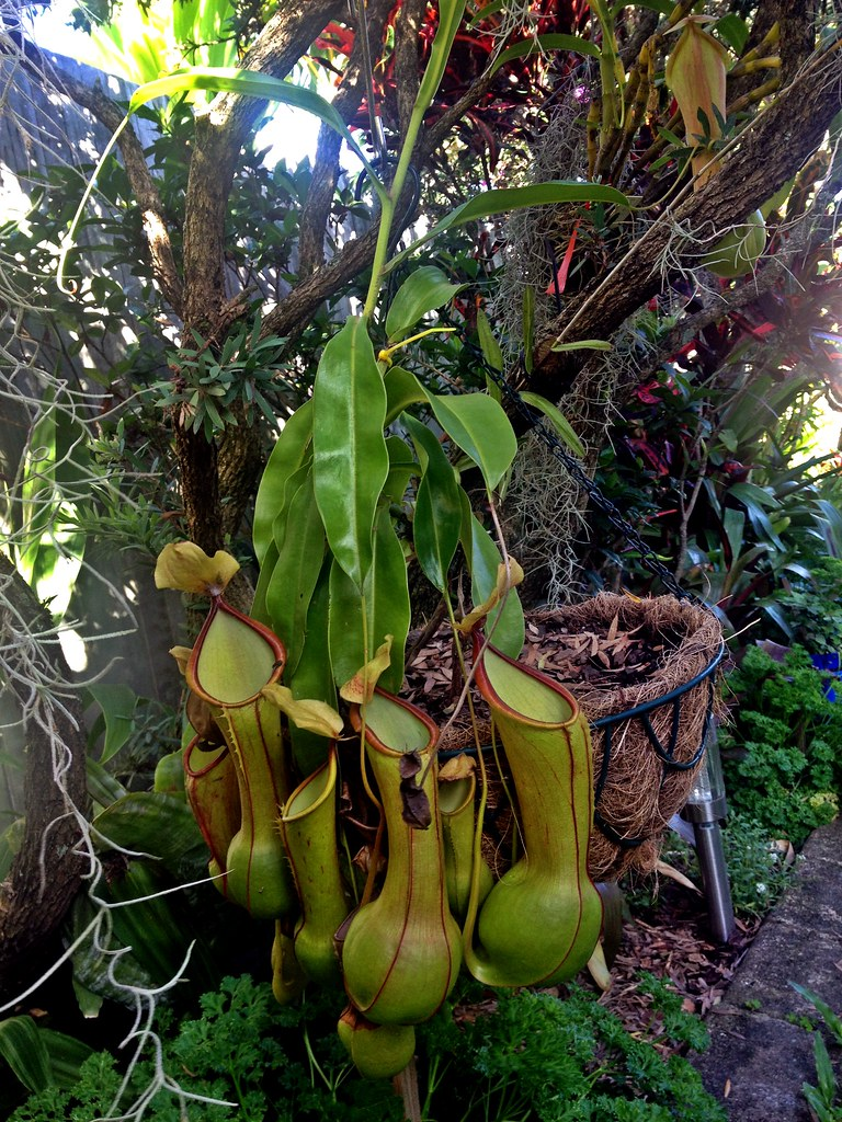 Nepenthes alata var. boschiana