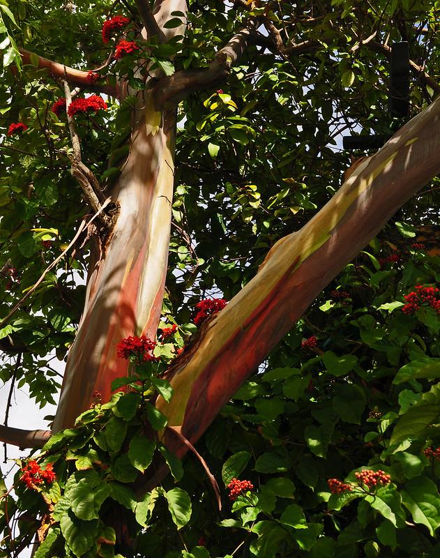 Clerodendrum splendens and Eucalyptus deglupta  (2)