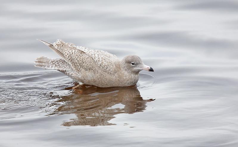 1st winter Glaucous Gull