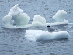arctic ocean, water bird, arctic, snow, ice, wind wave, waterfowl, sea ice, freezing, bird, iceberg,
