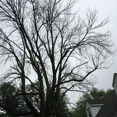Dying Ash Tree bc of Ash Borer