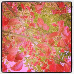 Red shrubbery