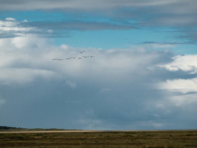 Incoming Brent geese at, Panasonic DMC-GM1, LUMIX G VARIO 35-100/F4.0-5.6