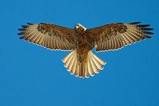 Galapagos Hawk, Buteo Galapagoensis