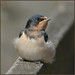 Swallow (image 2 of 2)