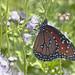 Queen Butterfly (Danaus gilippus); Tucson, Arizona, Tohono Chul Park, [Lou Feltz]