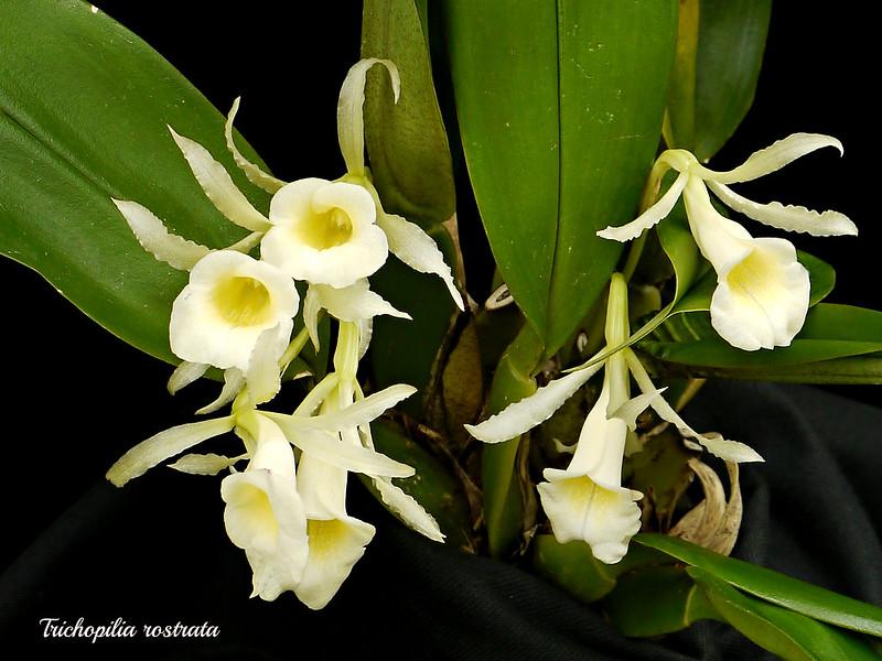 Trichopilia rostrata 15488277848_6c632dda78_c