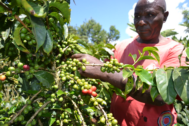 Gabriel Kimwaki on his coffee farm in Nyeri County, central Kenya. Agriculture is still the backbone of the economy even when many small-scale farmers continue to receive minimal returns. Credit: Miriam Gathigah/IPS