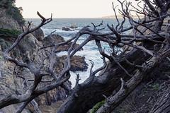 Point Lobos, December 2014 #4
