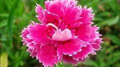 carnation, annual plant, flower, plant, flora, pink, petal,