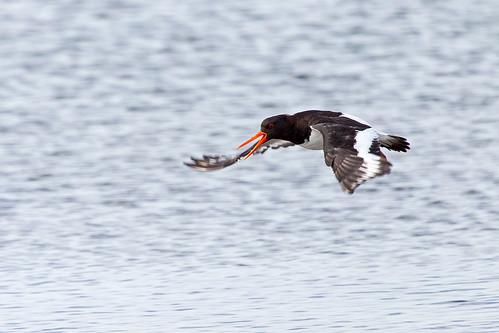 Eurasian Oystercatcher - Strandskata
