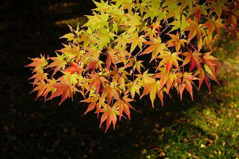 本多の森の紅葉 その3