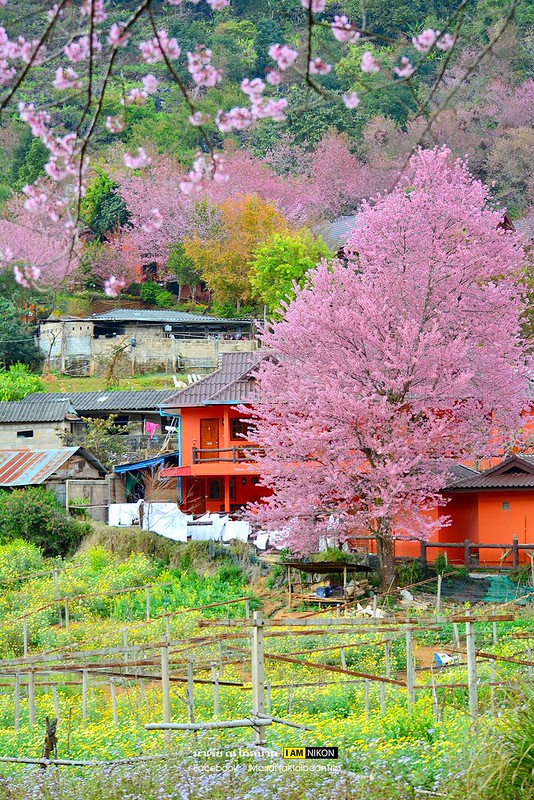 Chiang mai Angkhang sakura trees village