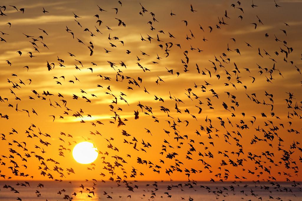 Starlings, Brighton