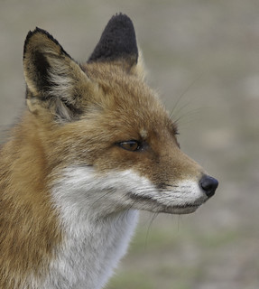 Vos (Red Fox) 000619