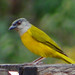 Gray-Headed Tanager 2