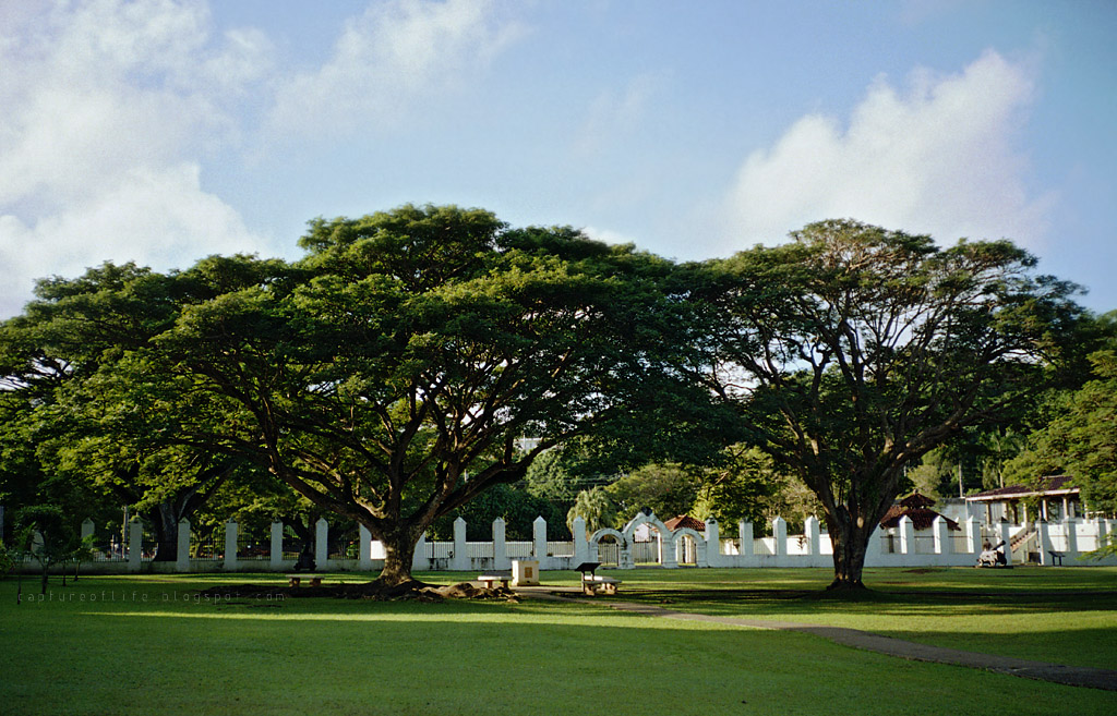 Trip to Guam-- the trees near Dulce Nombre de Maria Cathedral-Basilica