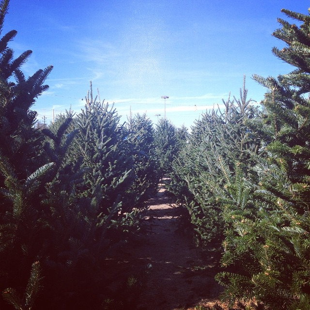 The guys at my favorite Christmas tree lot told us they had over 600 out there this year. Pretty certain we got the very best one. 🌲👍