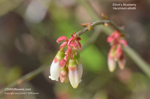 Elliott's Blueberry, Mayberry, High Bush Blueberry - Vaccinium elliottii