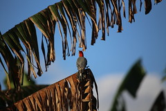 red bellied woodpecker #2