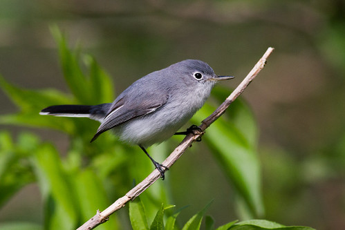 bird florida bluegraygnatcatcher picken corkscrewswampsantuary