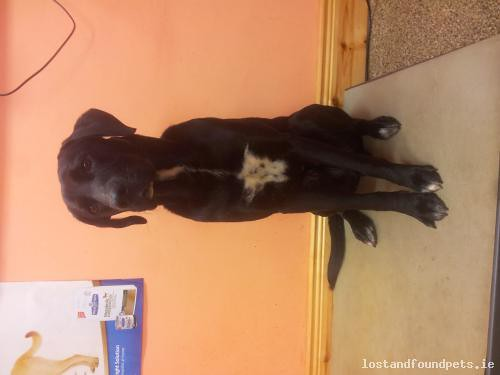 Sat, Dec 20th, 2014 Found Male Dog - Boherstooka, New Ross, Wexford