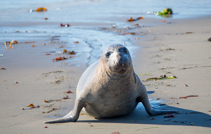 Elephant seal after having a swim