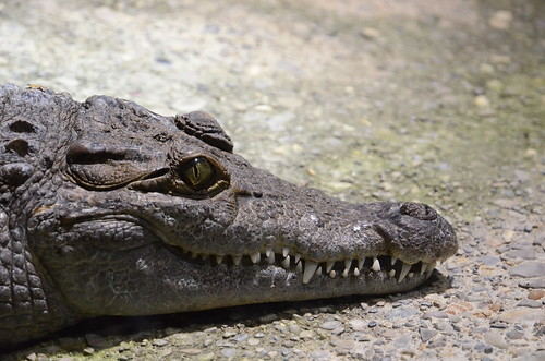 Krokodil im Züricher Zoo