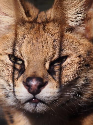 多摩動物公園 サーバルキャット