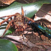 Parasitoid Wasp vs Huntsman Spider