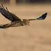 Hunting Harrier by snooker2009