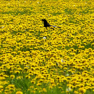 bird among the dandelions