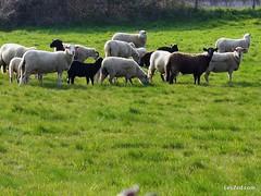 Promenade en famille à La Chapelle-Villars (Parc naturel du Pilat - France) #country #countryside #campagne #hike #hiking #mouton #moutons #sheep #lachapellevillars #condrieu #pilat #pilatmonparc #loiretourisme #parcdupilat #rhonealpes #france #ig_france