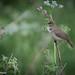 Busksångare  /Blyth's Reed Warbler  (Acrocephalus dumetorum)