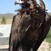 Vulture by MelindaChan ^..^