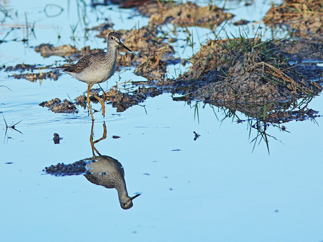 Greater Yellowlegs 03-20141111