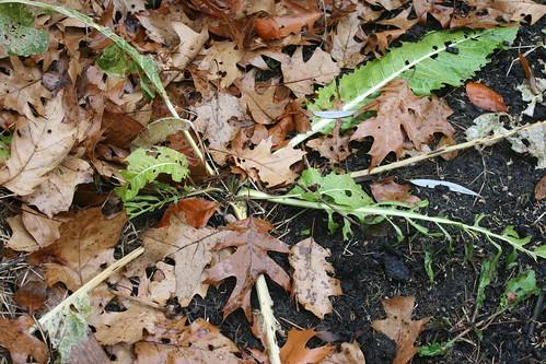 horseradish IMG_0974
