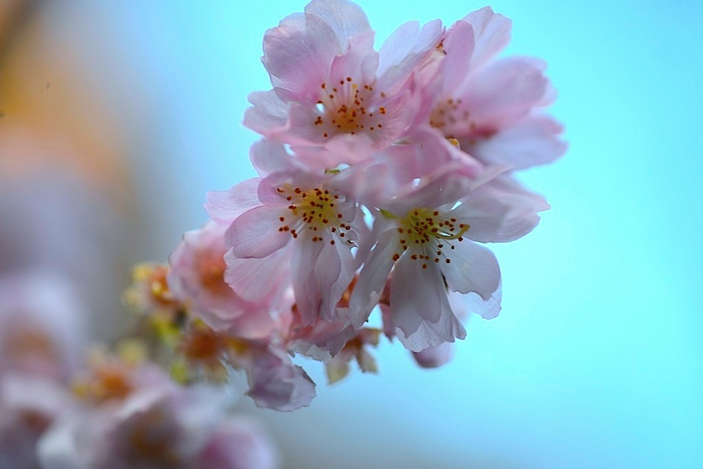 Winter Cherry:不断桜