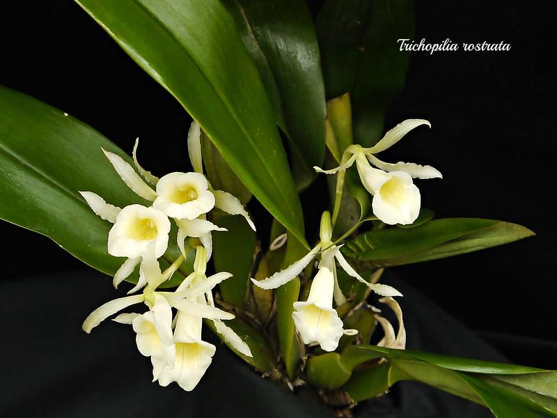Trichopilia rostrata 15649955046_3205f71b06_c