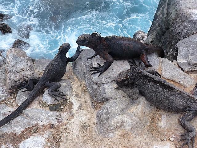 Iguanas marinas en isla Plaza Sur (Galápagos)