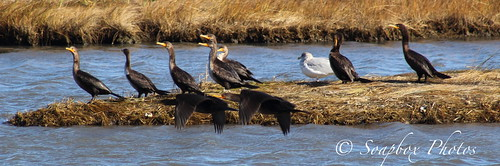 """Cormorants at the Edwin B. Forsythe National Wildlife Refuge"" ""Cormorants at the brig"""