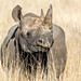 Small photo of Black Rhino