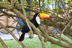 parrot(0.0), zoo(0.0), pet(0.0), animal(1.0), hornbill(1.0), branch(1.0), toucan(1.0), fauna(1.0), coraciiformes(1.0), beak(1.0), bird(1.0), wildlife(1.0),