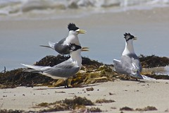 greater crested terns displaying