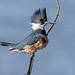 Belted Kingfisher by snooker2009