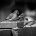Inca Dove Hanging with House Sparrows by Attic Light