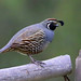 Temporary Image : Califonia Quail by tinyfishy (Gone to Argentina)