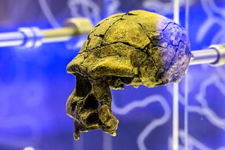 Image of Sterkfontein. southafrica skeleton skull bones gauteng hominoid sterkfontein cradleofmankind sterkfonteindma