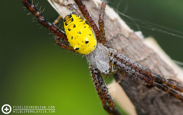 A Double-Humped Yellow Tent Spider- Cyrtophora cylindroides ♀