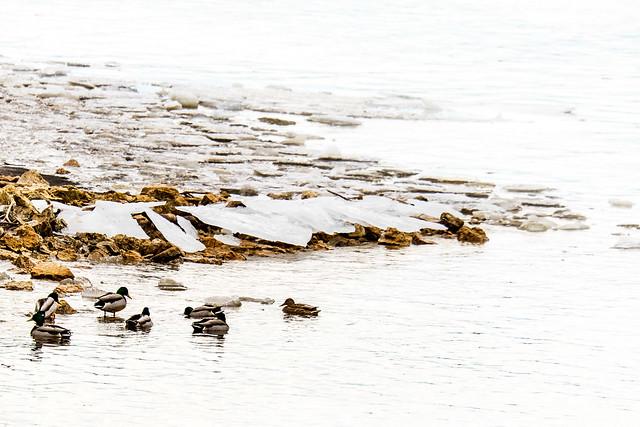 Sitting ducks 3